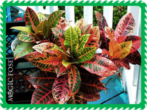 Кротон кодиеум растение